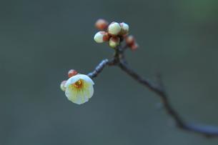 白梅の小枝の写真素材 [FYI00319097]