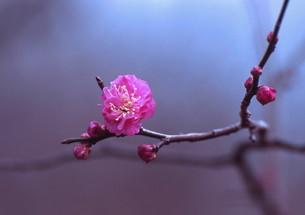 咲き始めた紅梅の素材 [FYI00319115]