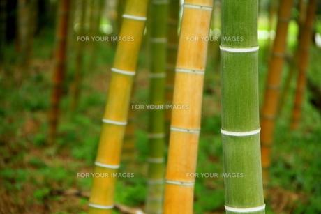 竹の色の色違いの素材 [FYI00319306]