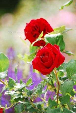 情熱の薔薇の素材 [FYI00319368]