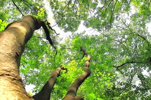新緑の林を下から見上げるの写真素材 [FYI00319397]