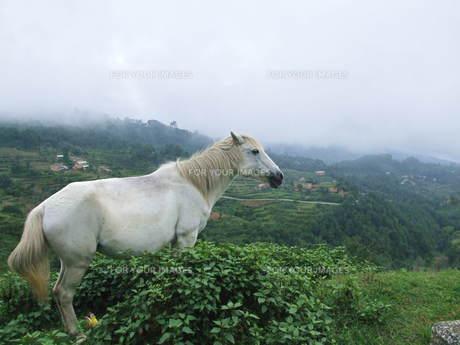 白馬の写真素材 [FYI00319404]
