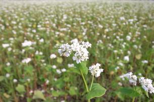 蕎麦の花の写真素材 [FYI00319411]