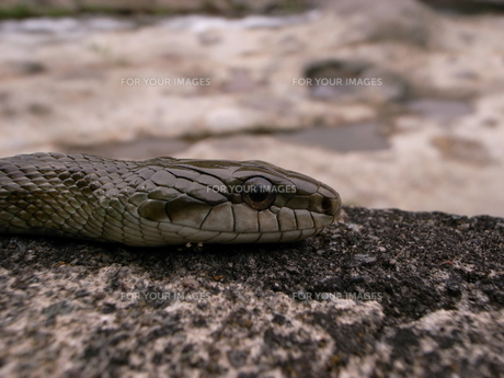 蛇の写真素材 [FYI00319414]