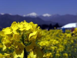 菜の花と北アルプスの写真素材 [FYI00319468]