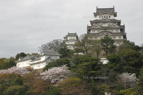 桜咲く姫路城の写真素材 [FYI00319809]