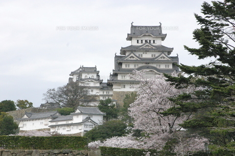 桜の季節の姫路城の写真素材 [FYI00319813]