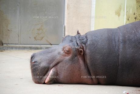 眠るカバの横顔の写真素材 [FYI00319829]