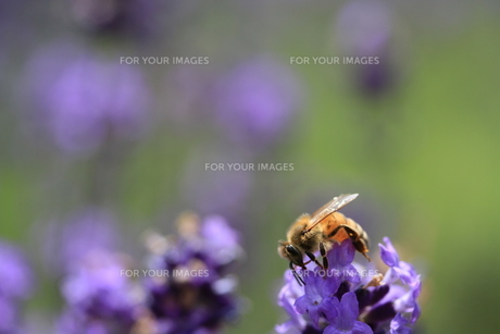 ミツバチの写真素材 [FYI00319882]