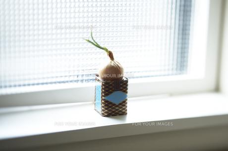 窓辺のタマネギの素材 [FYI00319978]