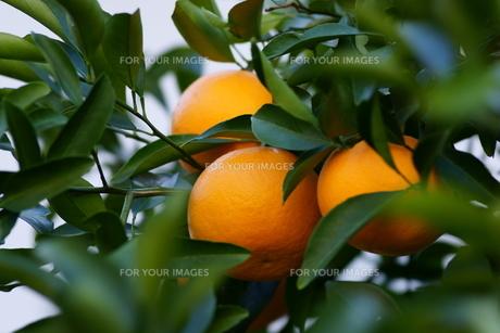 果実の素材 [FYI00320452]
