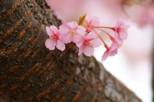 河津桜の写真素材 [FYI00320521]