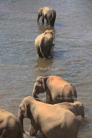 水浴びをする象の写真素材 [FYI00320644]