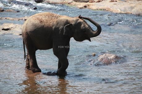 水浴びをする象の写真素材 [FYI00320656]