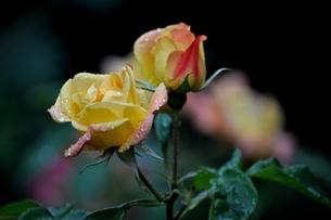 アンネの薔薇の写真素材 [FYI00321327]