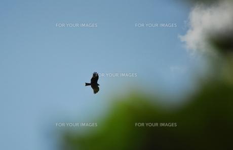 悠々と飛ぶトビ(鳶)の写真素材 [FYI00321341]