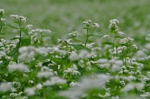 蕎麦の花の写真素材 [FYI00321351]
