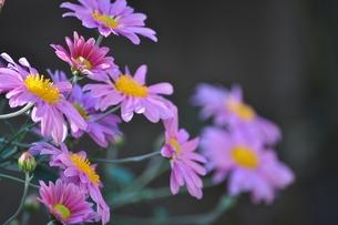 小菊が咲きましたの写真素材 [FYI00321370]