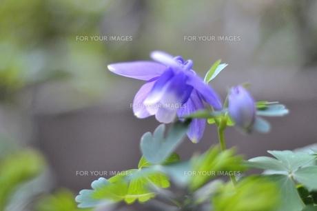 オダマキの花の素材 [FYI00321377]