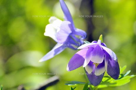 清楚なオダマキの花の素材 [FYI00321409]
