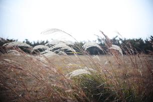 風に吹かれるすすきの穂の写真素材 [FYI00321492]