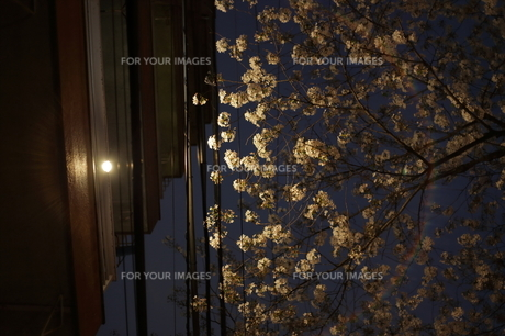 灯りに照らされる桜の素材 [FYI00321493]