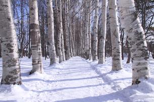 冬の白樺並木の写真素材 [FYI00321590]