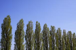 青空とポプラ並木の写真素材 [FYI00321616]