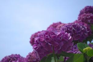 梅雨の晴れ間の紫色の紫陽花の写真素材 [FYI00321618]