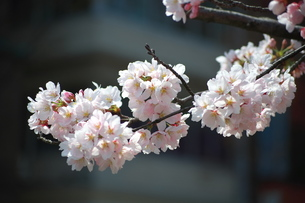 金沢市内の満開の桜の写真素材 [FYI00321620]