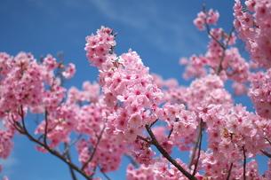 青空と桜の写真素材 [FYI00321623]