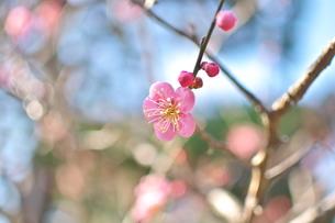 青空とピンクの梅の写真素材 [FYI00321625]