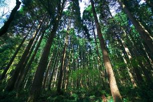 針葉樹の森の中の写真素材 [FYI00321631]