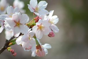 桜の花アップの写真素材 [FYI00321635]