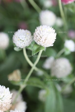 花の素材 [FYI00321723]