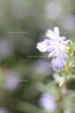 花の素材 [FYI00321735]