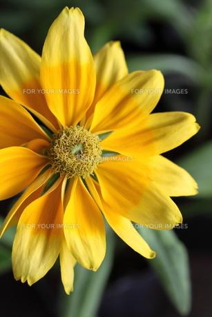花の素材 [FYI00321745]