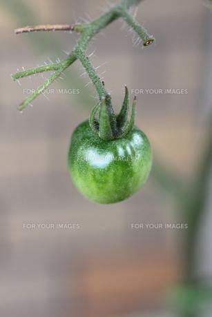 トマトの素材 [FYI00321750]