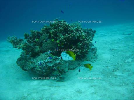 サンゴとチョウチョウオの写真素材 [FYI00321757]