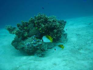 サンゴとチョウチョウオの素材 [FYI00321757]