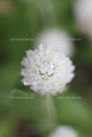 花の素材 [FYI00321767]