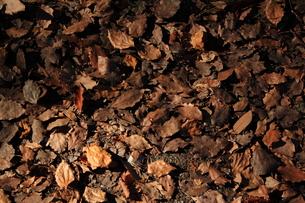 落ち葉の写真素材 [FYI00322006]