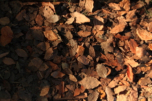 落ち葉の写真素材 [FYI00322007]