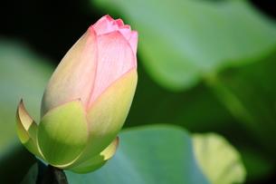 蓮のつぼみの写真素材 [FYI00322008]