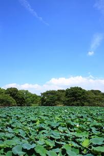 蓮池と青空の写真素材 [FYI00322018]
