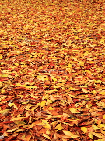 落ち葉の絨毯の素材 [FYI00322103]