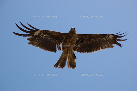 羽ばたく鳥の写真素材 [FYI00322283]