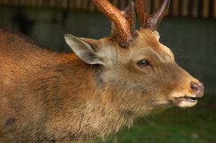 鹿の横顔の写真素材 [FYI00322287]