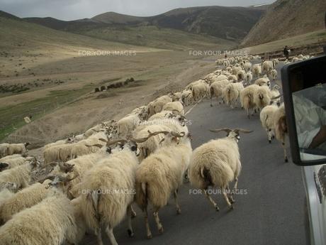 チベットの羊の写真素材 [FYI00322434]