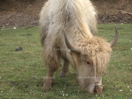 チベットの牛 ヤックの写真素材 [FYI00322437]